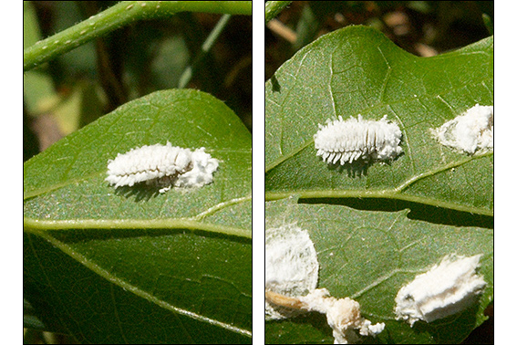 White_Insect_Eggs http://www.nancyhellsten.com/blog/default.aspx?entry=68
